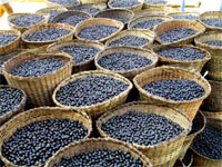Nutrition Beyond the Trends: Acai article - baskets of acai fruit