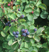 Sask_Berry_web_edited-1.jpg